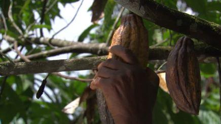800008086-albero-di-cacao-frutto-di-cacao-coltura-di-cacao-fava-di-cacao