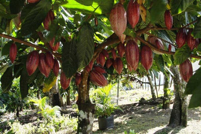 theobroma-cacao